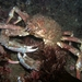 Sheep Crab - Photo (c) Klaus Stiefel, some rights reserved (CC BY-NC)