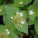 Tropical Mexican Clover - Photo (c) Kuan-Chieh (Chuck) Hung, some rights reserved (CC BY-NC)