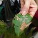 Stigmella quercipulchella - Photo (c) ssmyers, algunos derechos reservados (CC BY-NC)
