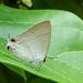 Hypolycaena erylus - Photo (c) CheongWeei Gan,  זכויות יוצרים חלקיות (CC BY-NC)