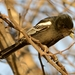 Southern Black Tit - Photo (c) Ian White, some rights reserved (CC BY-NC-SA)