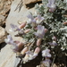 Astragalus calycosus - Photo (c) Lynn, μερικά δικαιώματα διατηρούνται (CC BY-NC)