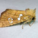 Ash Tip Borer Moth - Photo (c) Diane P. Brooks, some rights reserved (CC BY-NC-SA)