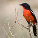 Crimson-breasted Gonolek - Photo (c) Johann du Preez, some rights reserved (CC BY-NC-ND)