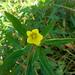 Ludwigia peploides glabrescens - Photo (c) amctaggart, osa oikeuksista pidätetään (CC BY-NC)
