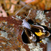 Megathymus violae - Photo (c) greglasley, algunos derechos reservados (CC BY-NC), uploaded by Greg Lasley