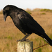 American Crow - Photo (c) Joe McKenna, some rights reserved (CC BY-NC)