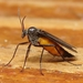 Dark-winged Fungus Gnats - Photo (c) Paul Bedell, some rights reserved (CC BY-NC-SA), uploaded by pbedell