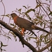 Brown Goshawk - Photo (c) QuestaGame, some rights reserved (CC BY-NC-ND)