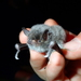Long-fingered Bat - Photo (c) Julien Renoult, some rights reserved (CC BY)