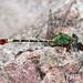 Libélula Serpiente de Punta Recta - Photo (c) Diana-Terry Hibbitts, algunos derechos reservados (CC BY-NC)