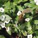 Syrphus shorae - Photo (c) orlandomontes,  זכויות יוצרים חלקיות (CC BY-NC)