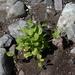 Claytonia cordifolia - Photo (c) Walter Siegmund, algunos derechos reservados (CC BY-SA)
