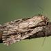 Dichagyris signifera - Photo (c) Nikolai Vladimirov, algunos derechos reservados (CC BY-NC)
