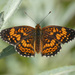 Gorgone Checkerspot - Photo (c) Matthew Drollinger, some rights reserved (CC BY-NC)