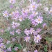 Galatella angustissima - Photo (c) Михаил Кривошеев / Mikhail Krivosheev, algunos derechos reservados (CC BY-NC)