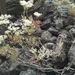 Eriogonum microthecum laxiflorum - Photo (c) patra, alguns direitos reservados (CC BY-NC), uploaded by patra
