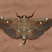 Victorian Lamplighter Moth - Photo (c) Monica Krancevic, some rights reserved (CC BY-NC)