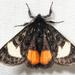 Psychomorpha epimenis - Photo (c) Steve Pelikan, algunos derechos reservados (CC BY-NC)