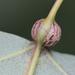 Ectoedemia populella - Photo (c) Brad Walker, osa oikeuksista pidätetään (CC BY-NC)