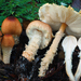 Lepiota magnispora - Photo (c) Christian Schwarz, alguns direitos reservados (CC BY-NC)