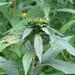 Rhopalomyia - Photo (c) Charlotte Bill, μερικά δικαιώματα διατηρούνται (CC BY-NC)