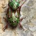 Chrysina quetzalcoatli - Photo (c) magdaargueta, algunos derechos reservados (CC BY-NC)