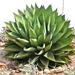 Agave de la Costa - Photo (c) plantmanbuckner, algunos derechos reservados (CC BY-NC-SA)