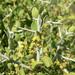 Ziziphus obtusifolia - Photo (c) Stan Shebs, algunos derechos reservados (CC BY-SA)