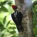 Pale-billed Woodpecker - Photo (c) Matt Wyczalkowski, some rights reserved (CC BY-NC)