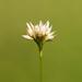 Rhynchospora alba - Photo (c) Greg Funka, μερικά δικαιώματα διατηρούνται (CC BY-NC)