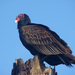 Turkey Vulture - Photo (c) Maggie.Smith, some rights reserved (CC BY-NC)