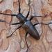 Monochamus scutellatus - Photo (c) Dee Warenycia, algunos derechos reservados (CC BY-NC)