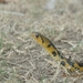 Chequered Keelback - Photo (c) Farhan Adyn, some rights reserved (CC BY-NC)