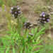 Sixweeks Prairie Clover - Photo (c) Steve Ganley, some rights reserved (CC BY-NC)