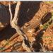 Acanthodactylus bedriagai - Photo (c) Aissa Djamel Filali, osa oikeuksista pidätetään (CC BY-SA)
