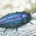 Buprestis rustica - Photo (c) Siga, algunos derechos reservados (CC BY-SA)