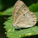 Lethe appalachia - Photo (c) Matthew Drollinger, μερικά δικαιώματα διατηρούνται (CC BY-NC)
