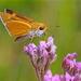 Euphyes arpa - Photo (c) Mary Keim, algunos derechos reservados (CC BY-NC-SA)
