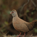 Stone Partridge - Photo (c) Liki Fumei, some rights reserved (CC BY-SA)