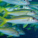 Yellowfin Goatfish - Photo (c) 104623964081378888743, some rights reserved (CC BY-NC), uploaded by David R