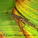 Paraprisopus - Photo (c) robirdman, μερικά δικαιώματα διατηρούνται (CC BY-NC)