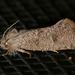 Heppner's Grass Tubeworm Moth - Photo (c) Monica Krancevic, some rights reserved (CC BY-NC)