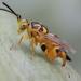 Chalcidoidea - Photo (c) manimiranda, algunos derechos reservados (CC BY-NC)