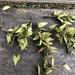 Carpinus kawakamii - Photo (c) Cheng-Tao Lin,  זכויות יוצרים חלקיות (CC BY)