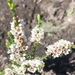 Fringed Heath Myrtle - Photo (c) Rush Ecology Services, some rights reserved (CC BY-NC)