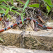Aesculapian False Coral Snake - Photo (c) rondon, some rights reserved (CC BY-NC)