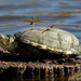 Kinosternine Turtles - Photo (c) Todd Fitzgerald, some rights reserved (CC BY-NC)