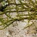 Homalothecium nuttallii - Photo (c) Ken-ichi Ueda, algunos derechos reservados (CC BY)