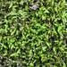Thuidiaceae - Photo (c) Ken-ichi Ueda,  זכויות יוצרים חלקיות (CC BY)